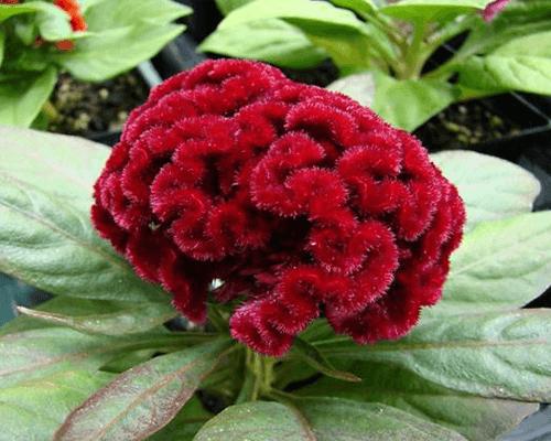 Hoa cúc gà búa