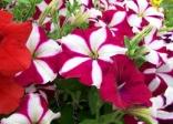 Hoa dạ yến thảo sọc rủ