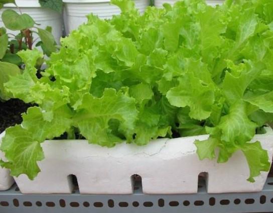 Bỏ túi cách trồng rau xà lách tươi tốt ăn quanh năm trong thùng xốp