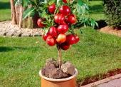 táo đỏ lùn