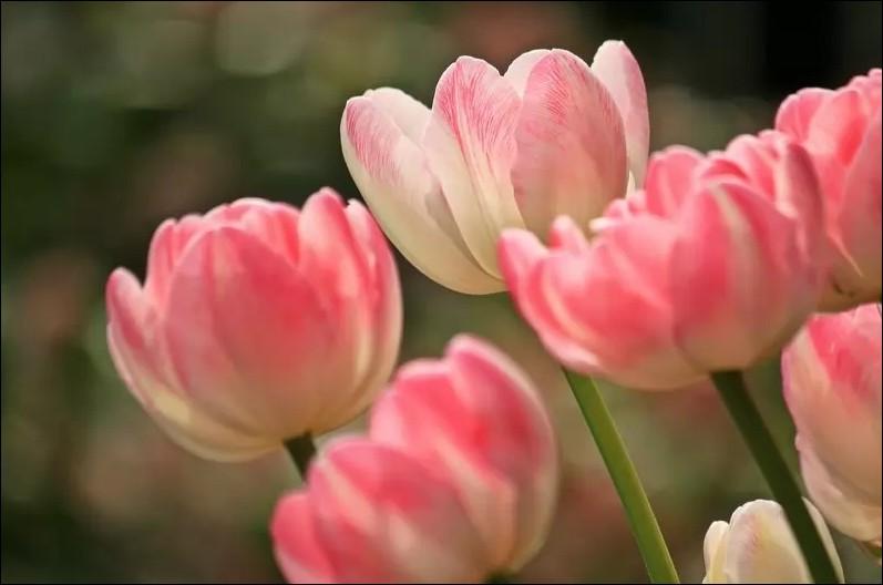bong-hoa-tulip