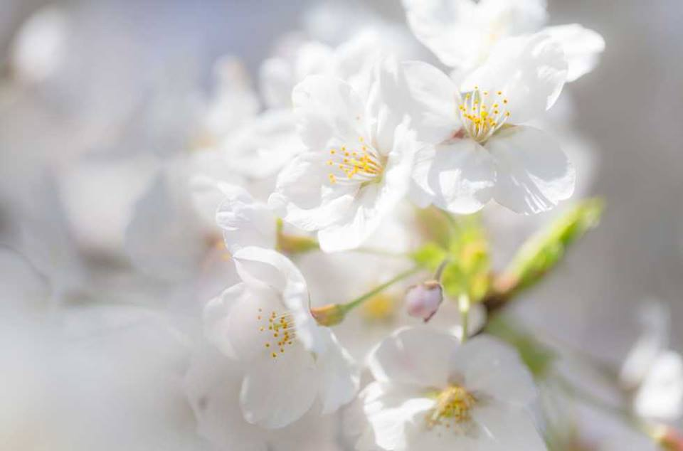 hoa anh dao Takesimensis