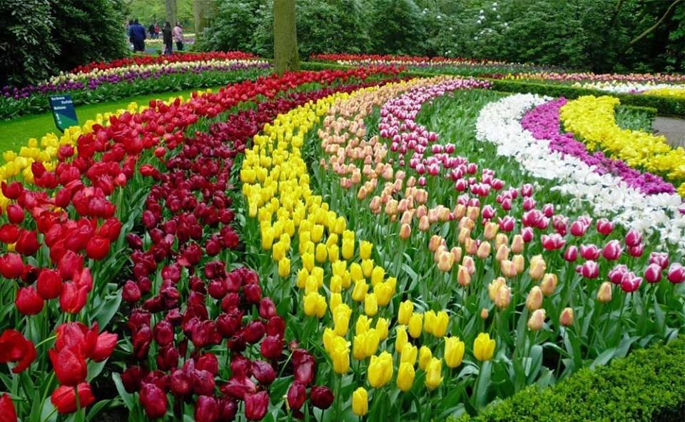 trong-hoa-tulip