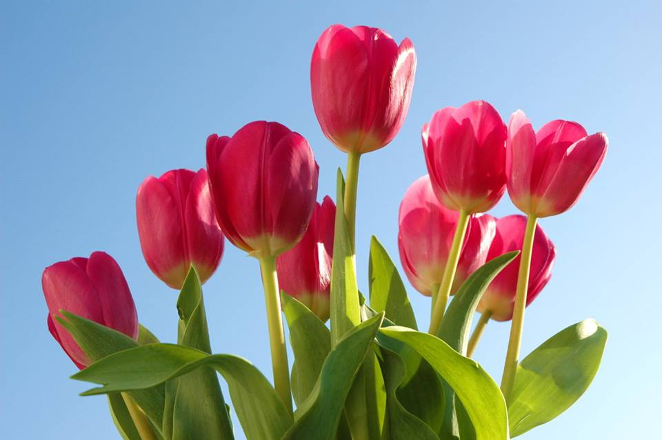 tulip-do