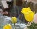 tulip-vang