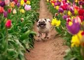 vuon-hoa-tulip