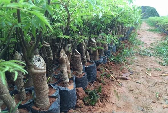 Tổng hợp Kỹ thuật trồng và chăm sóc cây Đinh Lăng