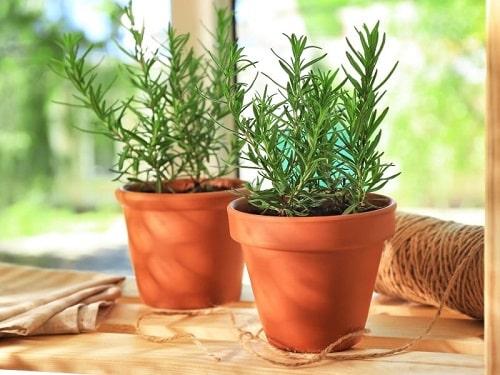 Cây hương thảo và những điều cần biết
