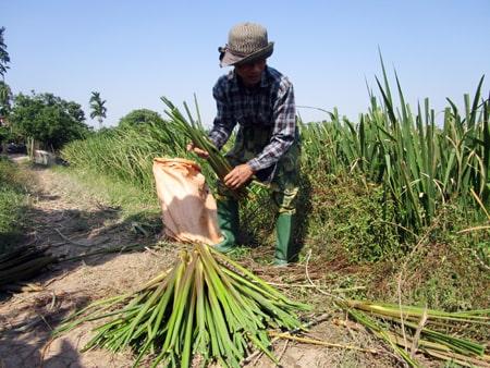 thu hoạch củ niễng