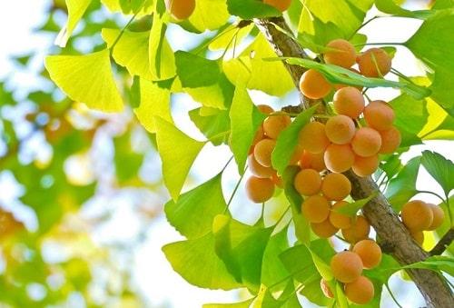 cây bạch quả