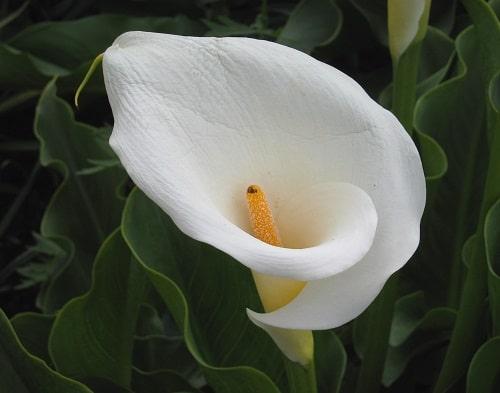 Những cây hoa có độc nhất định phải tránh để bảo toàn tính mạng