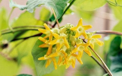 loại hoa leo phổ biến