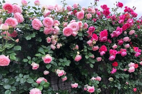 mua hạt giống hoa hồng leo