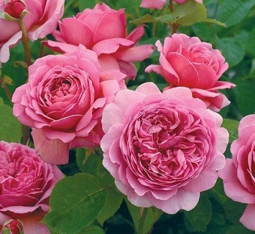 Mua hạt giống hoa hồng leo ở đâu? Cách trồng như thế nào?