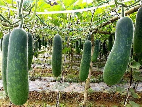 trồng rau gì mùa mưa