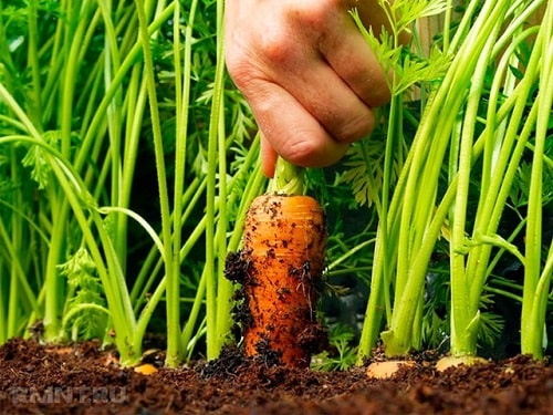 thu hoạch cà rốt